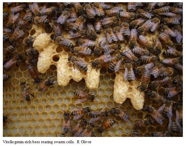 Rearing swarm cells