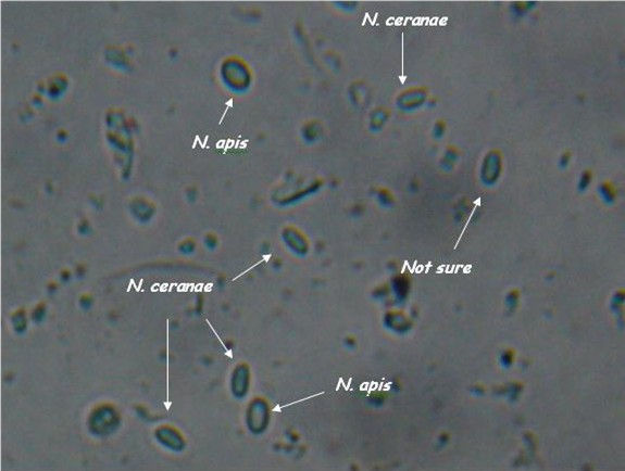 N. apis and ceranae spores side by side