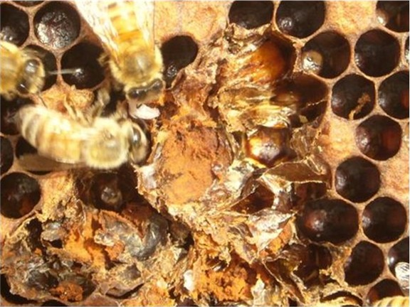 Cell opened with a hive tool