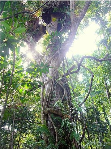 Vines and epiphytes