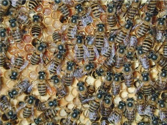 Asian bee