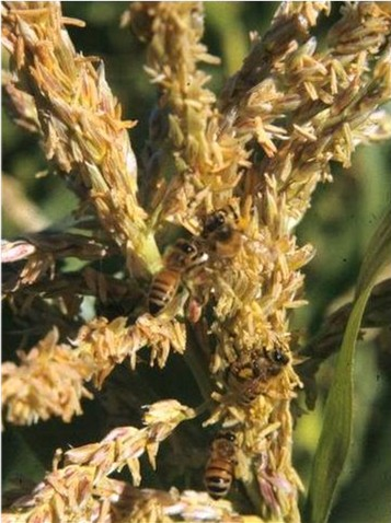 Bees collecting pollen from corn tassels