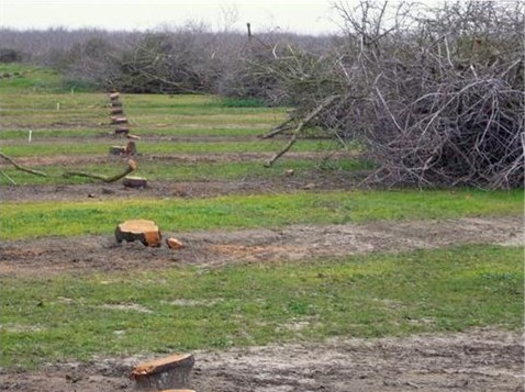 An older almond orchard being