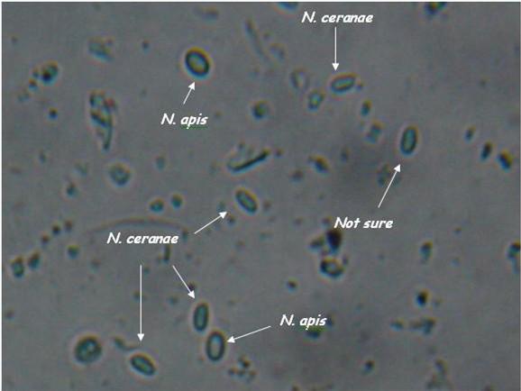 Nosema apis and ceranae spores side by side